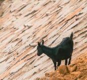 Black goat on rocky hillside Royalty Free Stock Image