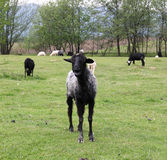 Black goat standing on a green field Royalty Free Stock Images