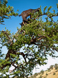 Black goat standing on top of a tree Stock Image