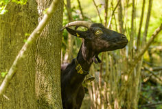Black goat stretching its neck Royalty Free Stock Image