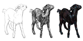 Black goat Stock Images