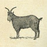 Black goat Stock Images