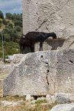 Black goat walking ancient cemetery Royalty Free Stock Photos