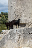 Black goat walking ancient cemetery Royalty Free Stock Images
