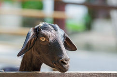 The black goat which imprisons Stock Photography