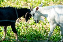 Black goat and white goat. Are fighting royalty free stock image