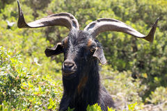 Black goat Stock Photos