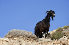 Black goat - RAW format Royalty Free Stock Photo