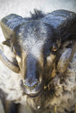 Black Goat With Big Horns Royalty Free Stock Image