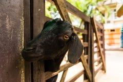 Black goat Royalty Free Stock Photography