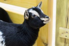 Black goat in the zoo. Black goat in the contact zoo Royalty Free Stock Images