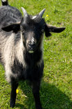 Black goatling Stock Photo