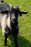 Black goatling. Grazing on pasture stock photo