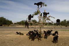 Black goats in an Argan tree Royalty Free Stock Photos