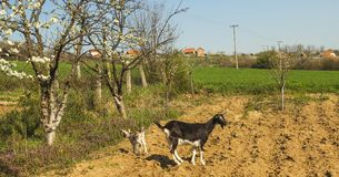Black goats and goatling in nature on a sunny spring day.  Stock Image