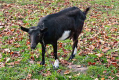 Black goats graze Stock Photo