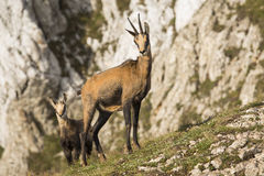 Black goats mother and child in the mountains wildlife Royalty Free Stock Photo