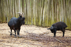 Black goats in the paddock. Eating branch Stock Photo