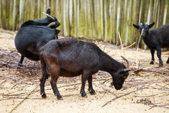 Black goats in the paddock. Eating branch Stock Image