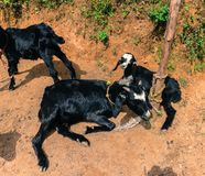 Black goats resting on the soil in Kathmandu village in Nepal. Stock Images