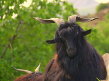 Black goats Royalty Free Stock Photography