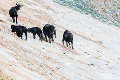 Black goats on rocky hillside Stock Photo