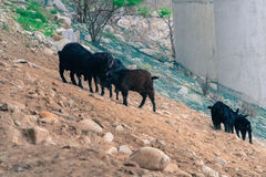 Black goats on rocky hillside Royalty Free Stock Photos