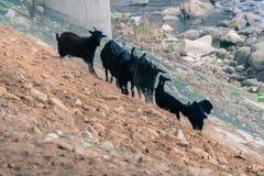 Black goats on rocky hillside Royalty Free Stock Photography