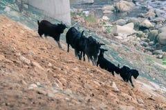Black goats on rocky hillside Stock Images