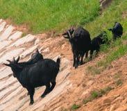 Black goats on rocky hillside Stock Photos