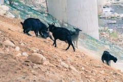 Black goats on rocky hillside Royalty Free Stock Image