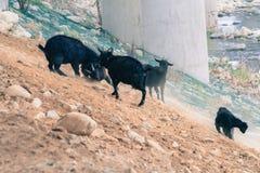 Black goats on rocky hillside Stock Photography