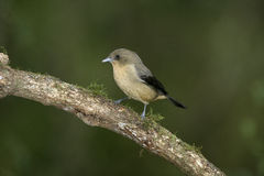 Black-goggled tanager, Trichothraupis melanops, Stock Photography