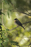 Black-goggled tanager, Trichothraupis melanops, Stock Images