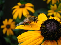 Black and Gold. A honeybee stops for a rest on a Black-eyed Susan Stock Images
