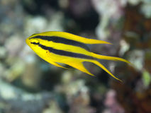 Black-and-gold chromis Royalty Free Stock Images
