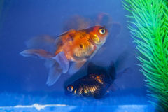 Black And Gold Fish Stock Photos