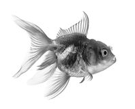 Black gold fish  on white background Royalty Free Stock Photo