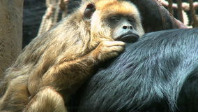 Black and gold howler monkeys stock footage