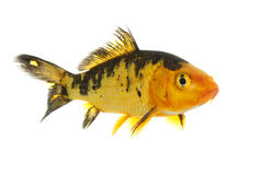 Black and Gold Koi Stock Image