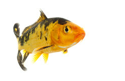 Black and Gold Koi Royalty Free Stock Image