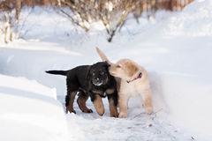 Black and golden hovawart puppy Stock Images