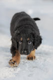 Black and golden hovawart puppy Royalty Free Stock Photos
