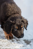 Black and golden hovawart puppy Royalty Free Stock Images