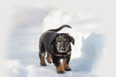 Black and golden hovawart puppy Stock Photography