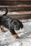 Black and golden hovawart puppy Stock Image