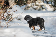 Black and golden hovawart puppy Royalty Free Stock Photo