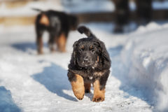 Black and golden hovawart puppy Stock Photos