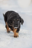 Black and golden hovawart puppy Royalty Free Stock Photography