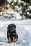Black and golden hovawart puppy Royalty Free Stock Image